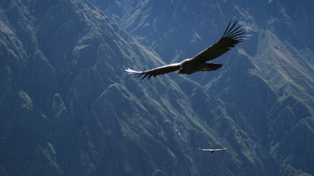 Andean Condor at the Colca Canyon